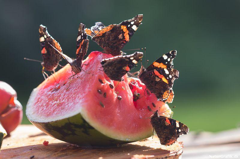 lokning af sommerfugle